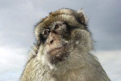 baboon-50866__340