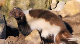skunk-689181__340