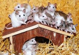 home_mice