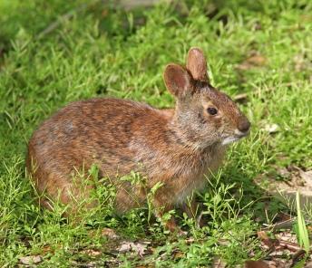 Marsh_Rabbit