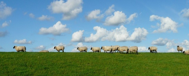 sheep-57706_1280